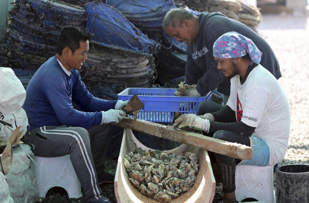 In this Jan. 16, 2018 photo, employees clean oyster shells at the Dibba  Bay Oyster Farm's harvesting and processing facilities, in Dibba, United Arab