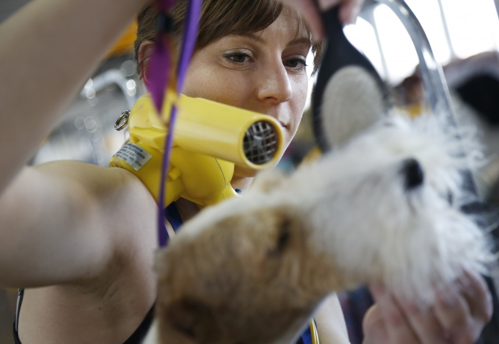 Kristen Falterman grooms her Wire Fox Terrier named Spiffy during the 142nd Westminster Kennel Club Dog Show in New York, Tuesday, Feb. 13, 2018. (AP