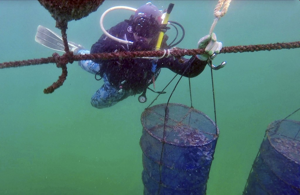 In this Tuesday, Jan. 23, 2018 frame grab from video, a diver from the Dibba Bay Oyster Farm, fixes a lantern net at the underwater oyster farm, in Di