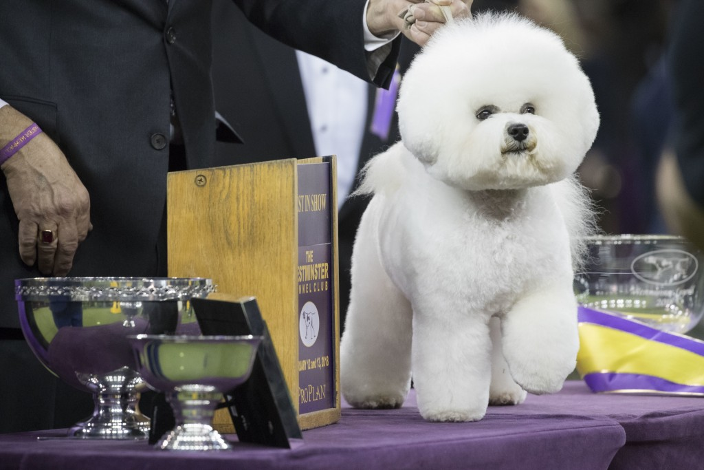 Flynn, a bichon frise, poses for photos after winning best in show during the 142nd Westminster Kennel Club Dog Show, Wednesday, Feb. 14, 2018, at Mad