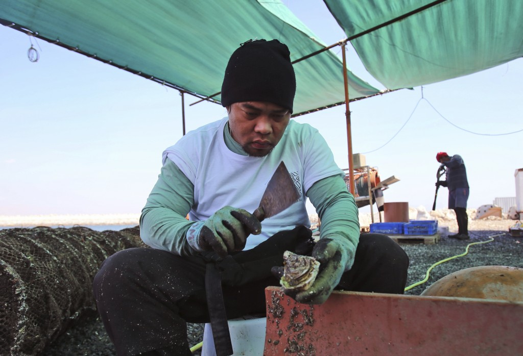 In this Jan. 16, 2018 photo, an employee cleans oyster shells at the Dibba Bay Oyster Farm's harvesting and processing facilities, in Dibba, United Ar