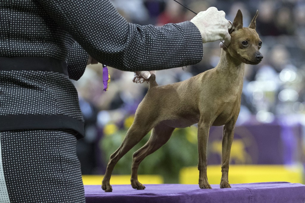 Porsche, a miniature pinscher, competes in the Toy group during the 142nd Westminster Kennel Club Dog Show, Monday, Feb. 12, 2018, at Madison Square G