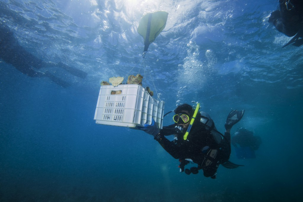 In this In Feb. 28, 2018, photo, diver and Force Blue Co-Founder Rudy Reyes handles a crate full of coral to replace corals ripped off the reef during