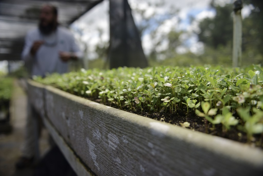 In this March 2, 2018 photo, a bed of native oak tree seedlings is shown by Manuel Sepulveda, nursery management coordinator with Para la Naturaleza,