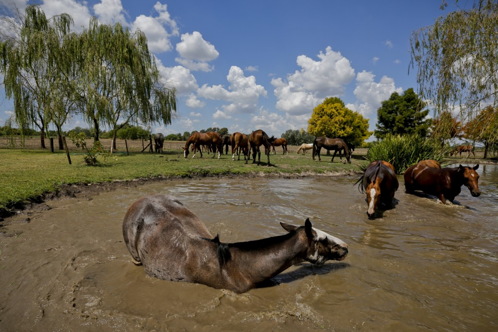 In this Feb. 27, 2018 photo, a group of ponies neighed and splashed on a pond cooling off after a polo game at La Carona club, Capilla del Senor, Buen
