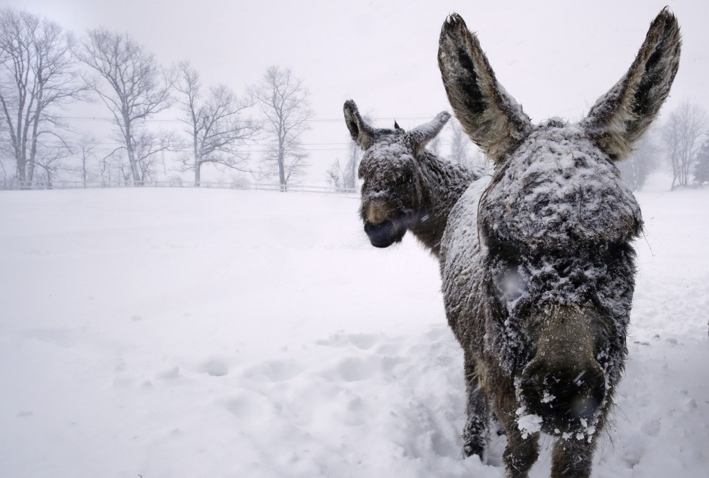 Snow covered donkeys stand outside during a winter storm in Chester, N.H., Tuesday, March 13, 2018. The nor'easter is expected to deliver up to 2 feet