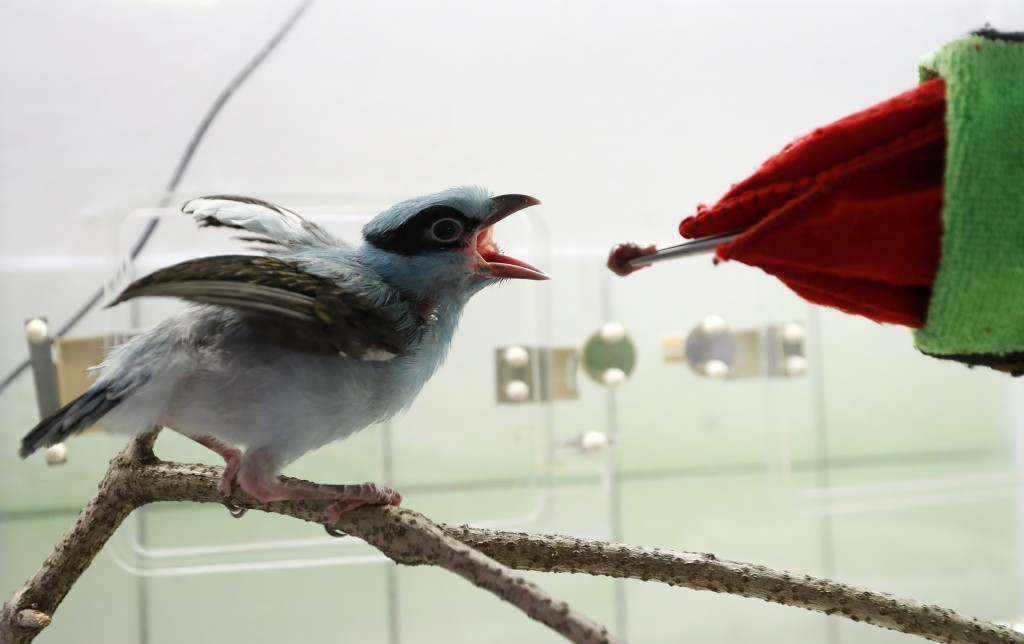 A keeper using a glove puppet imitating a parent feeds baby critically endangered Javan green magpie at the zoo in Prague, Czech Republic, Tuesday, Ap