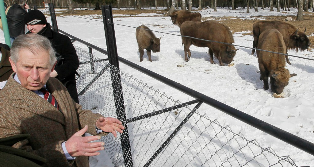FILE - In this file photo taken March 16, 2010, Britain's Prince Charles views bison at a reserve in Poland's Bialowieza forest in Bialowieza, Poland.