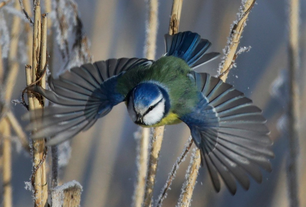 FILE- In this Feb. 26, 2018, file photo, a blue tit flies among dried plants covered with hoarfrost near the Belarus village of Dukora, some 40 km (25