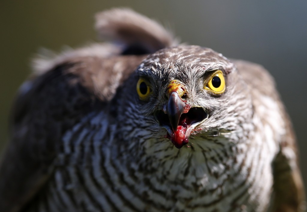 FILE- In this April 23, 2015, file photo a sparrow hawk looks up after catching a pigeon on a falcon farm, near the northern Serbian town of Coka. A s