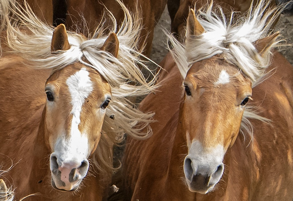 Haflinger horses run during this years's first turn-out to grass at Europe's largest Haflinger stud-farm in Meura, Germany, Sunday, April 29, 2018. Mo...