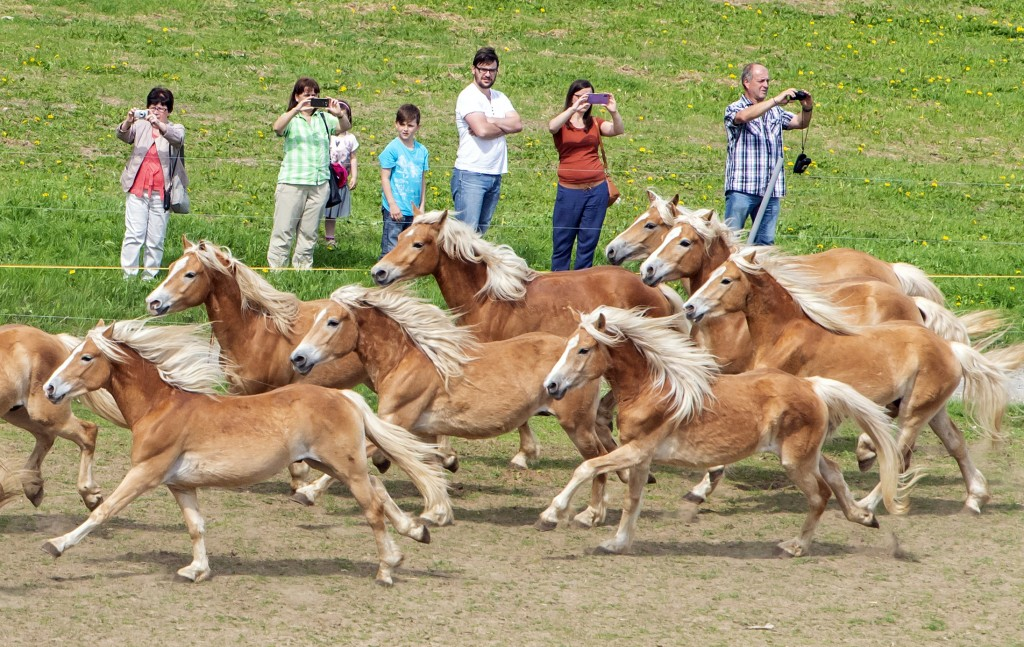 Haflinger horses run in front of the spectators during this years's first turn-out to grass at Europe's largest Haflinger stud-farm in Meura, Germany,...