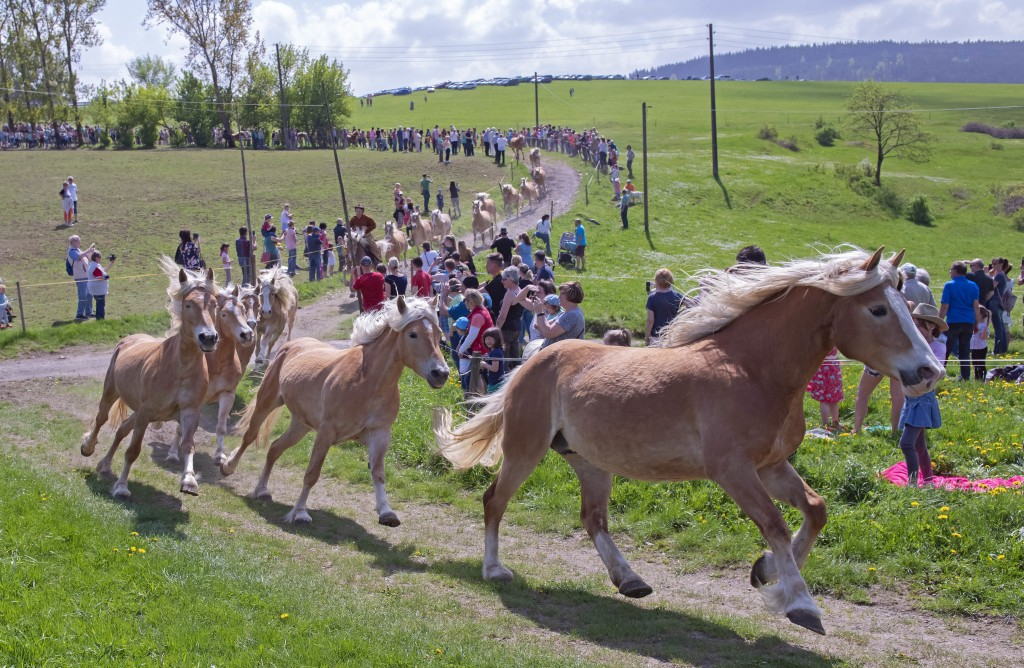 Haflinger horses run between the spectators during this years's first turn-out to grass at Europe's largest Haflinger stud-farm in Meura, Germany, Sun...