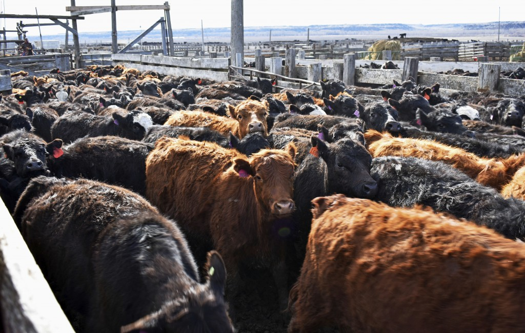In this April 19, 2018, photo, cattle move through pens at Cross Four Ranch in Sheffield, Mont., before the animals are shipped to summer pasture. Cro...