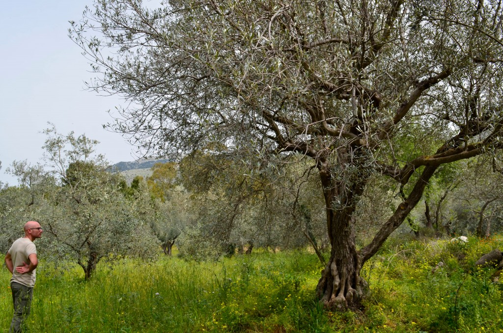 This April 4, 2018 photo shows Giovanni Caruso inspecting an olive tree on a former noble estate in Torretta near Palermo, Sicily . Caruso is seeking ...