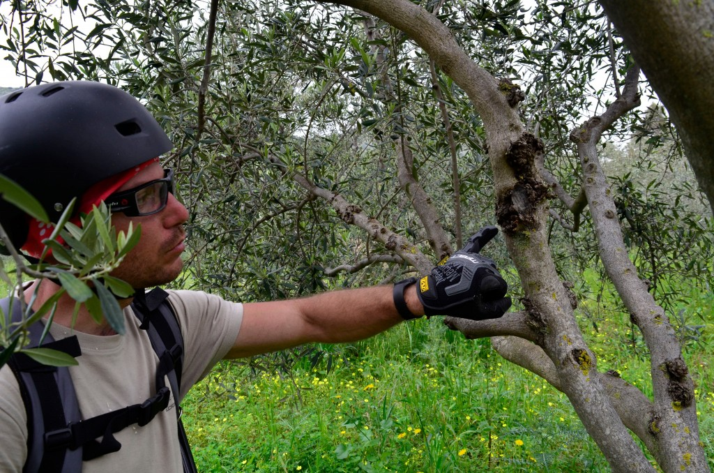 This April 4, 2018 photo shows Giovanni Caruso pointing to a disease on an olive tree on a former noble estate in Torretta near Palermo in Sicily. Car...