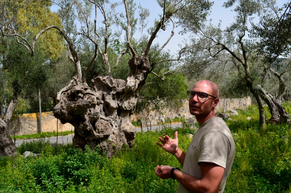 This April 4, 2018 photo shows Giovanni Caruso talking about how he pruned a very old olive tree on a former noble estate in Torretta near Palermo, Si...