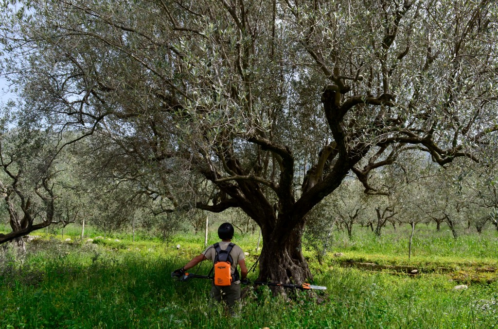 This April 4, 2018 photo shows Giovanni Caruso pruning a large olive tree on a former noble estate in Torretta near Palermo, Sicily. He is seeking to ...