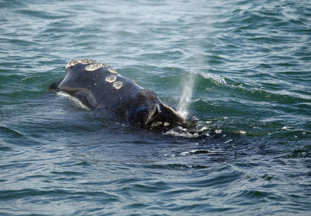FILE - In this March 28, 2018, file photo, a North Atlantic right whale feeds on the surface of Cape Cod bay off the coast of Plymouth, Mass. A group ...