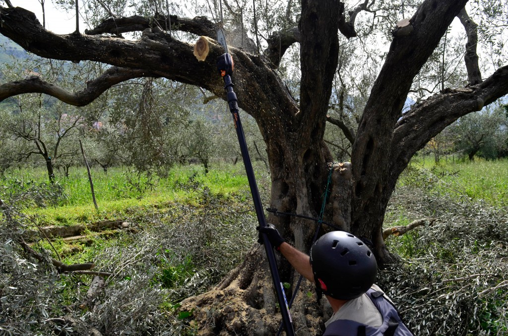 This April 4, 2018 photo shows Giovanni Caruso making a final cut on a large olive tree he is pruning on a former noble estate in Torretta near Palerm...