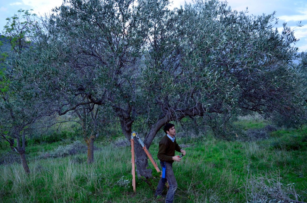 This March 13, 2018 photo shows reporter and writer Cain Burdeau pruning an olive tree with shears and a small saw on a property his wife and he bough...