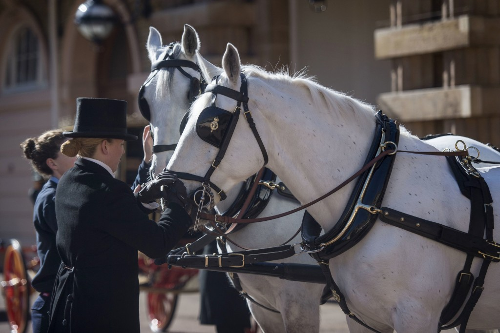 Two Windsor Greys, which will pull the carriage at the wedding of Britain's Prince Harry and Meghan Markle, are groomed during preparations at the Roy...