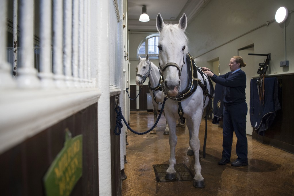 A Windsor Grey, one of the four horses that will pull the carriage at the wedding of Britain's Prince Harry and Meghan Markle, is groomed at the Royal...