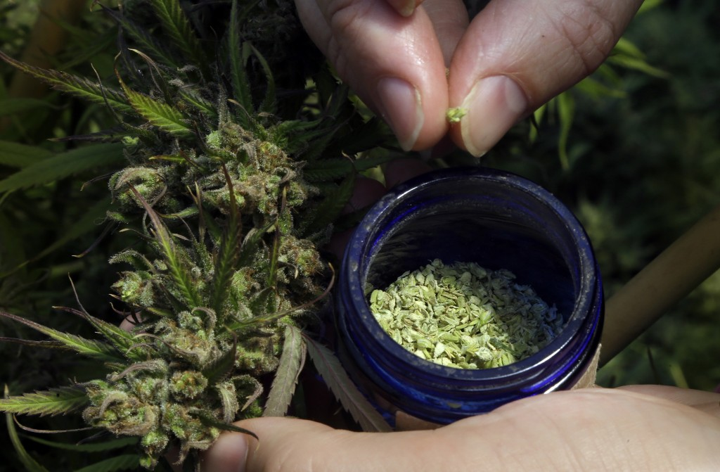 In this April 24, 2018 photo, pollen is removed from a hemp plant at the Unique Botanicals facility in Springfield, Ore. A glut of legal marijuana has...