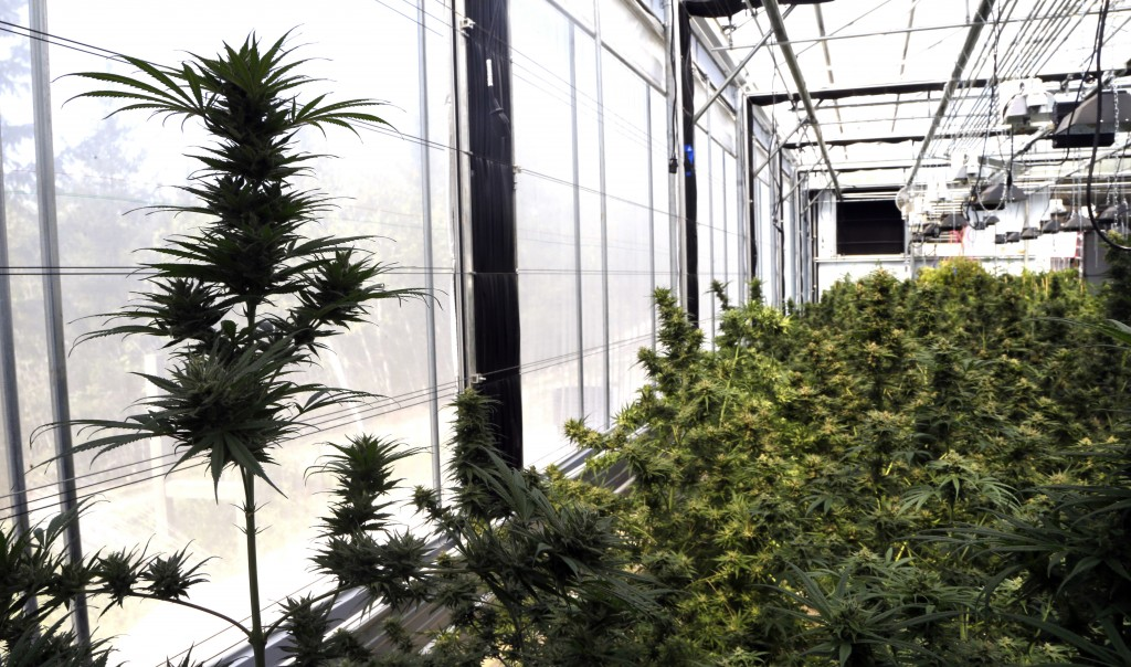 In this April 24, 2018 photo, hemp plants sit at the Unique Botanicals facility in Springfield, Ore. A glut of legal marijuana has driven pot prices t...