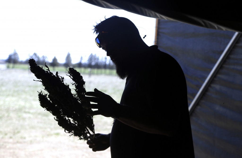 In this April 23, 2018 photo, Trevor Eubanks, plant manager for Big Top Farms, examines a dried hemp branch at their facility near Sisters, Ore. A glu