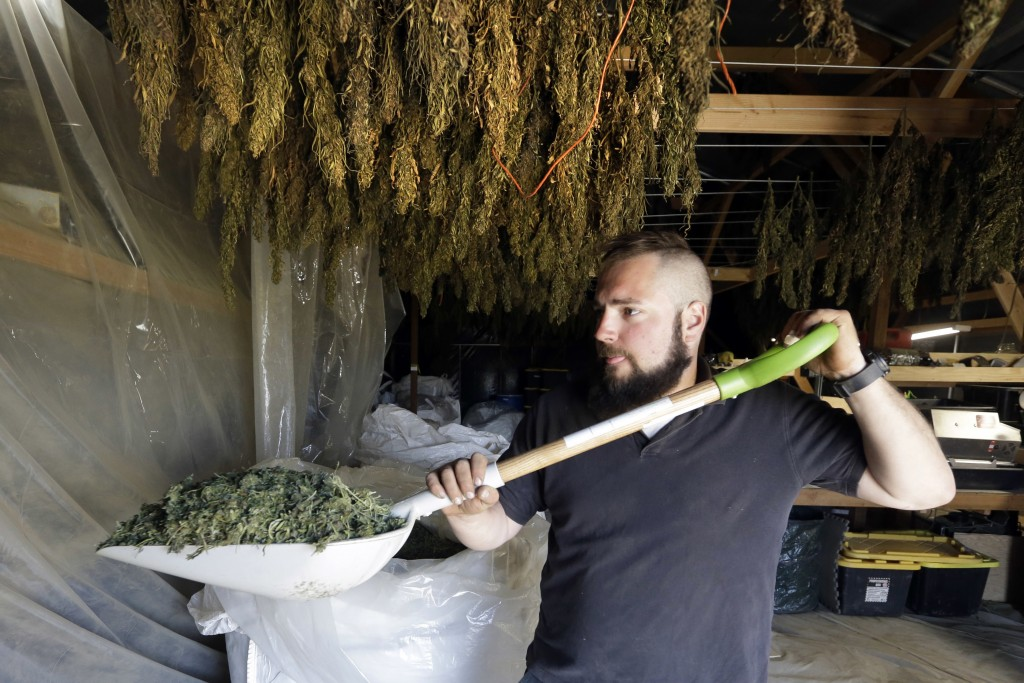 In this April 23, 2018 photo, Trevor Eubanks, plant manager for Big Top Farms, shovels dried hemp as branches hang drying in barn rafters overhead at ...