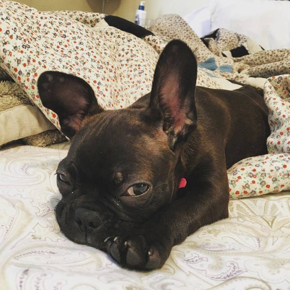 This undated photo provided by Natalie Sullivan shows Sullivan's French bulldog-Boston terrier mix puppy, Jane. Sullivan, of Brooklyn, says a pet stor