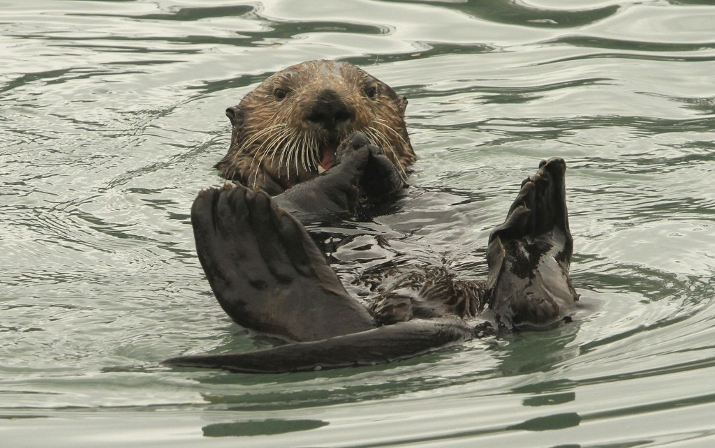 In this May 21, 2016 file photo, a northern sea otter floats on its back while crushing a clam shell with its teeth in the small boat harbor at Seward