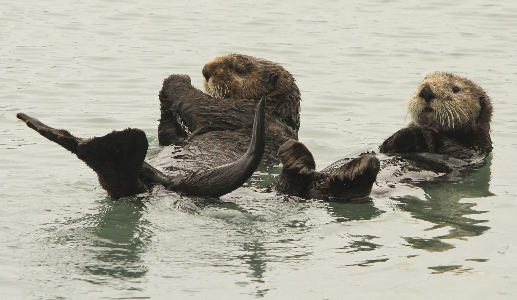 In this May 21, 2016 file photo, a pair of northern sea otters float on their backs in the small boat harbor at Seward, Alaska. Sea otters, once wiped