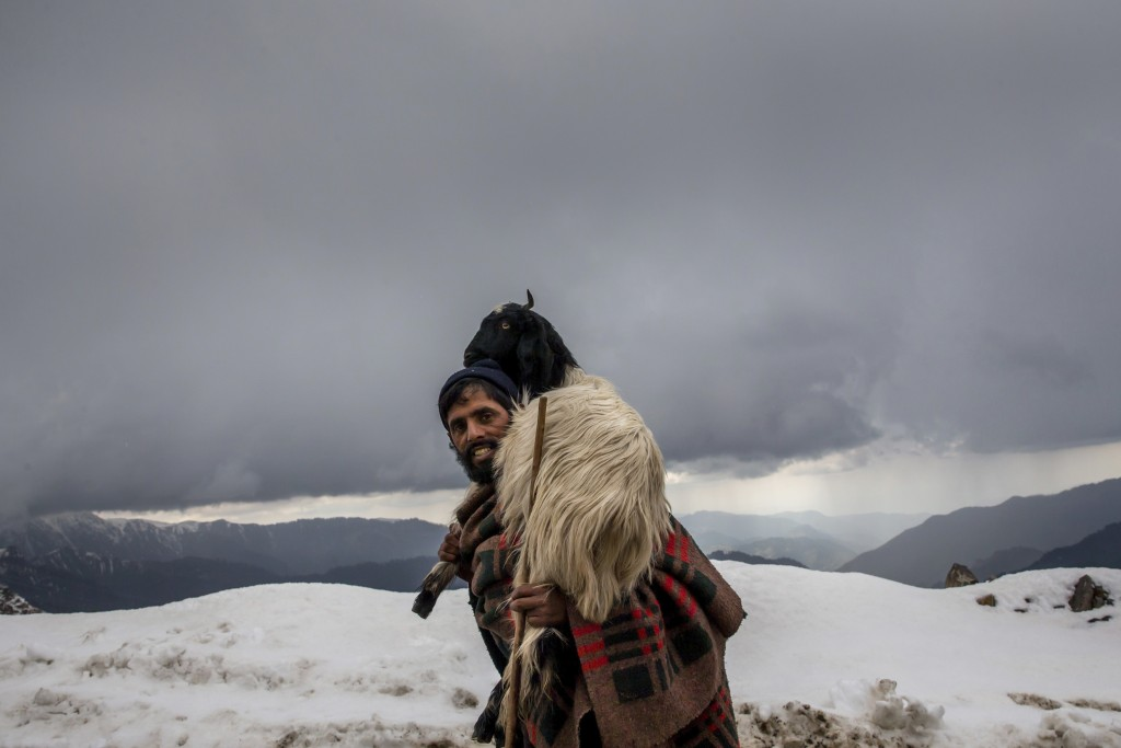 In this May 9, 2018, photo, Gul Khan, a Kashmiri nomadic Bakarwal man carries a tired goat on his shoulder as he leads a heard of sheep and goats at P