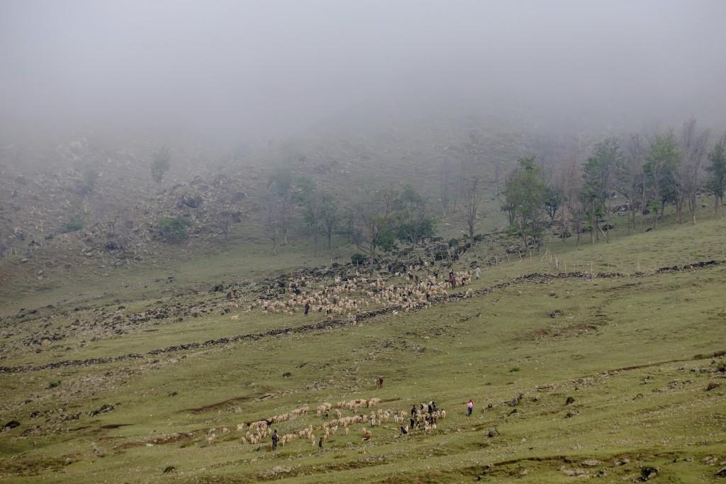 In this May 15, 2018 photo, Kashmiri nomadic Bakarwals lead the heard of sheep and goats at the base of a mountain pass on their way to Sonmarg, outsk