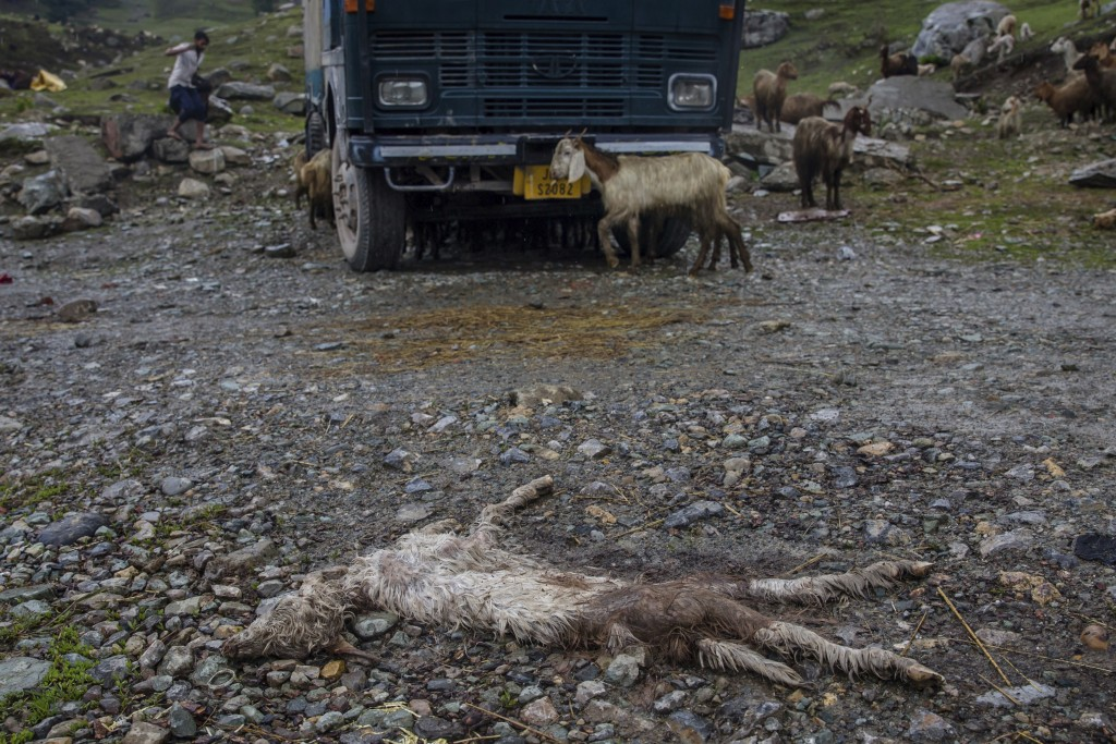 In this May 9, 2018, photo, a carcass of a lamb left behind by Kashmiri Bakarwals lies on a the road in Dubgan, 70 kilometers (43 miles) south of Srin