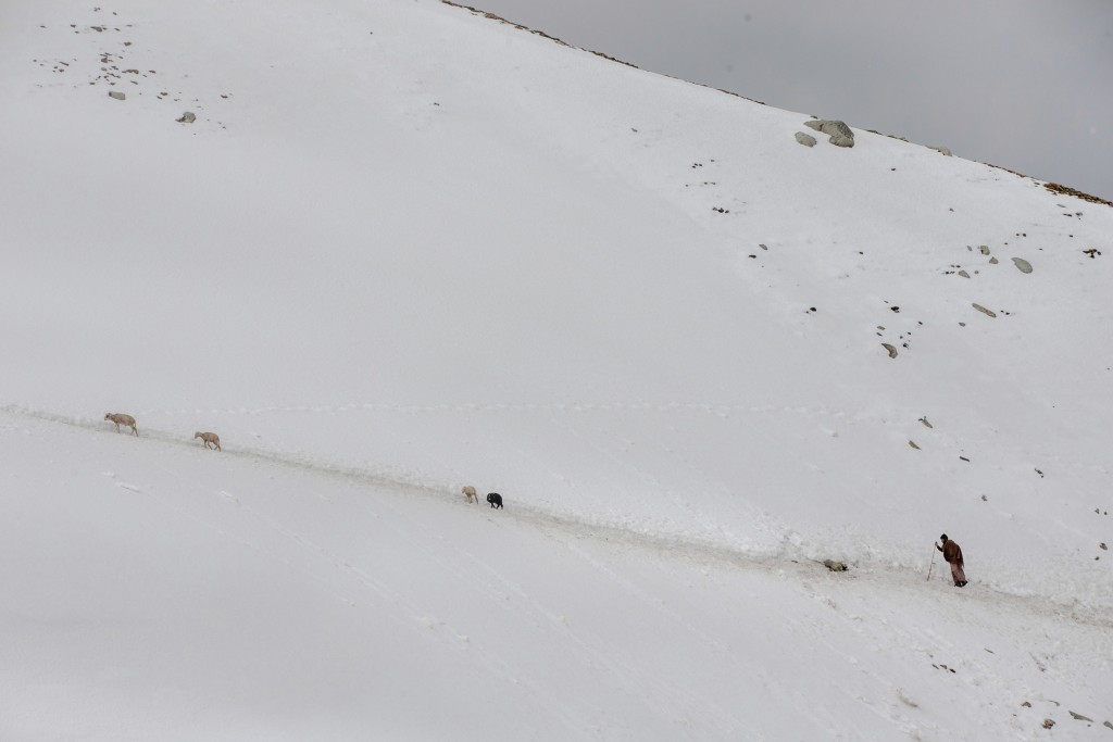 In this May 9, 2018, photo, Ghulam Nabi, a Kashmiri nomadic Bakarwal walks on a slippery snow covered mountain track as he tends to his 4 remaining sh