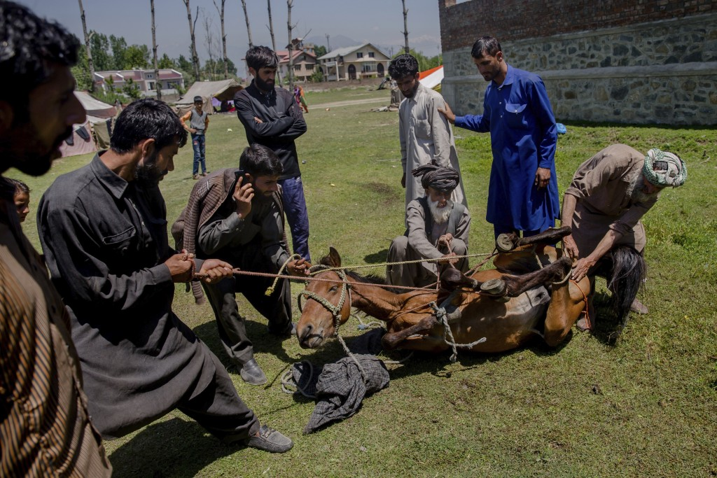 In this May 11, 2018, photo, Kashmiri nomadic Bakarwal men hold ropes tied to a horses as they castrate it using a traditional method that involves us