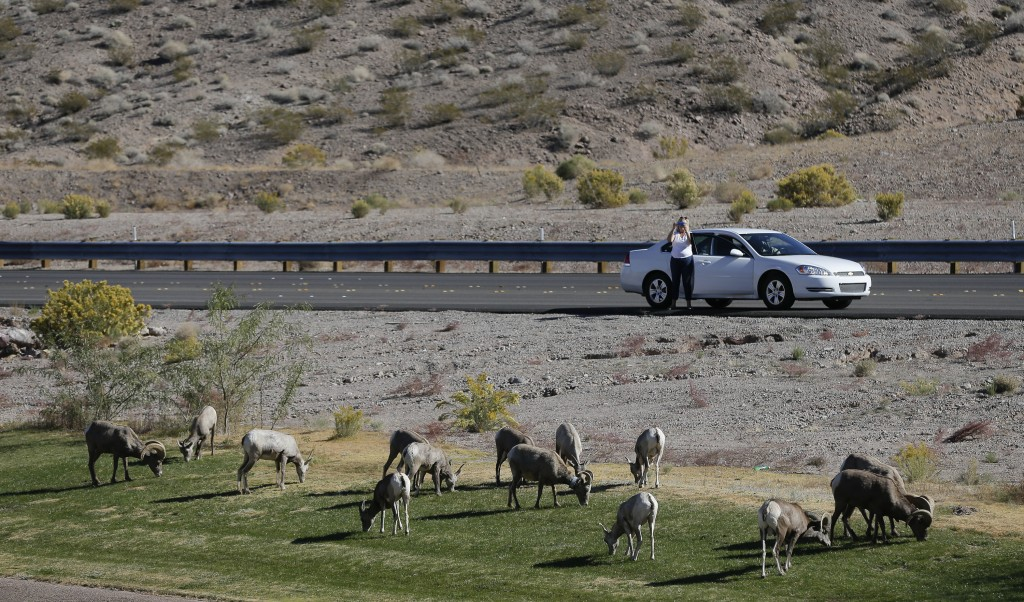 FILE - In this Nov. 8, 2013, file photo, 30 miles from the Las Vegas Strip, a motorist stops to take photos of a herd of big horn sheep grazing along ...