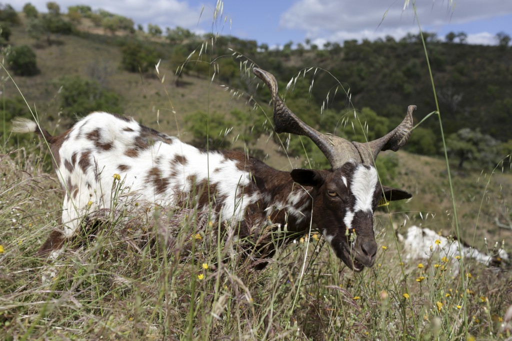 In this picture taken June 5 2018, a goat grazes on a slope in Moita da Guerra, on the hills of southern Portugal's Algarve region. The Portuguese gov