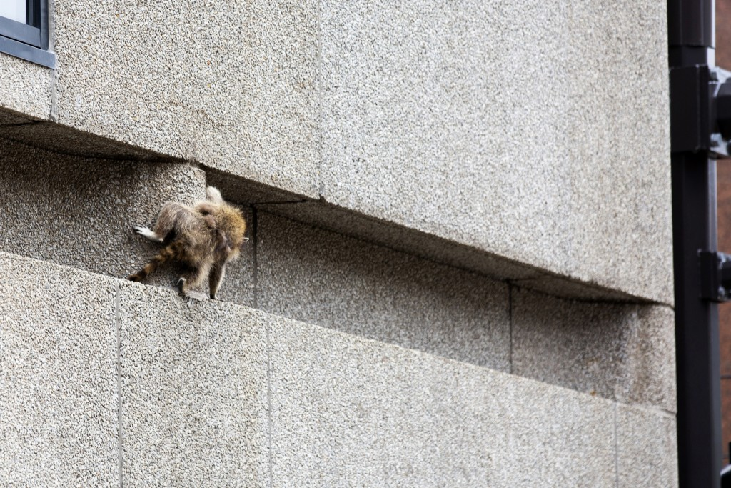 A raccoon scrambles along a ledge on the side of the Town Square building in downtown St. Paul, Minn., on Tuesday, June 12, 2018. (Evan Frost/Minnesot