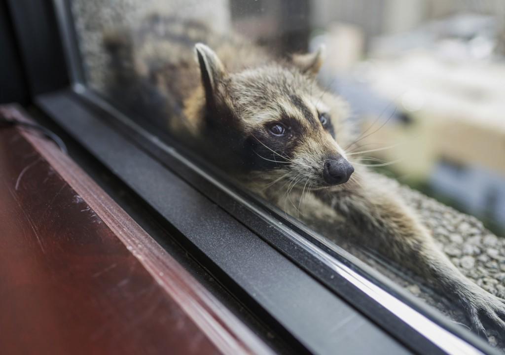 A raccoon stretches out on a windowsill high above downtown St. Paul, Minn., Tuesday, June 12, 2018. The raccoon stranded on the ledge of a building i