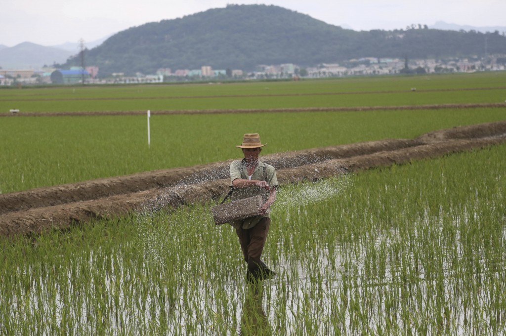 A farmer spreads fertilizer on a rice field in Sariwon, North Korea, Wednesday, June 13, 2018. Away from the political developments that have rocketed