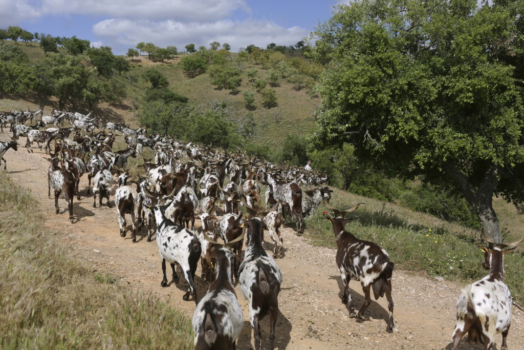 In this picture taken June 5 2018, Daniel Fernandes leads his herd of goats down a slope in Moita da Guerra, on the hills of southern Portugal's Algar