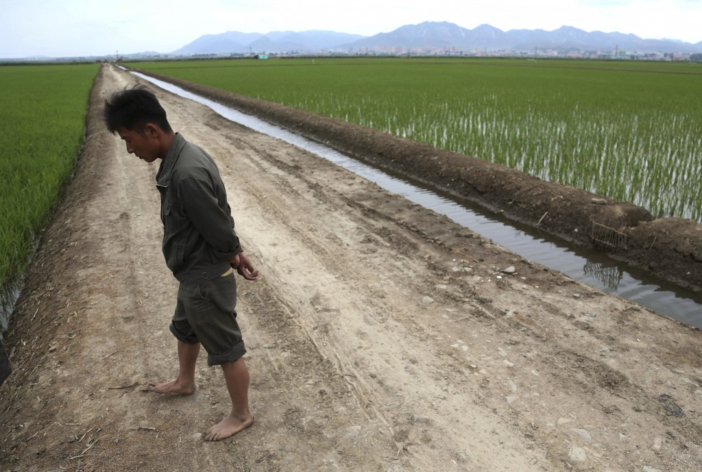 A worker walks along a rice field in Sariwon, North Korea, Wednesday, June 13, 2018. Away from the political developments that have rocketed their cou