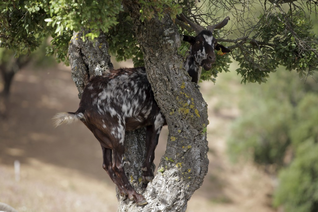 In this picture taken June 5 2018, a goat climbs on a cork oak tree to reach the leaves, in Moita da Guerra, on the hills of southern Portugal's Algar