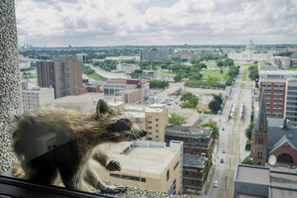A raccoon stretches itself on the window sill of the Paige Donnelly Law Firm on the 23rd floor of the UBS Tower in St. Paul, Minn., Tuesday, June 12,