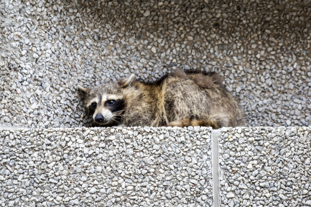 A raccoon sits on a ledge on the Town Square building in downtown St. Paul, Minn., on Tuesday, June 12, 2018. (Evan Frost/Minnesota Public Radio via A