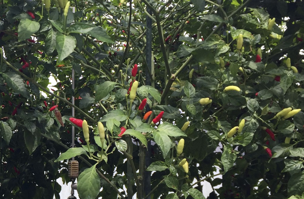 This June 4, 2018 photo shows a pepper plant in a greenhouse on Avery Island in Louisiana. The peppers are used in Tabasco sauce, which was first made